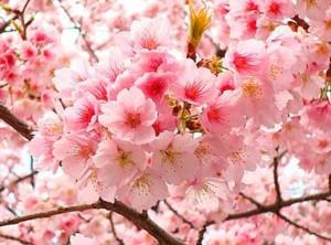 Japonia, Kraj Kwitnącej Wiśni